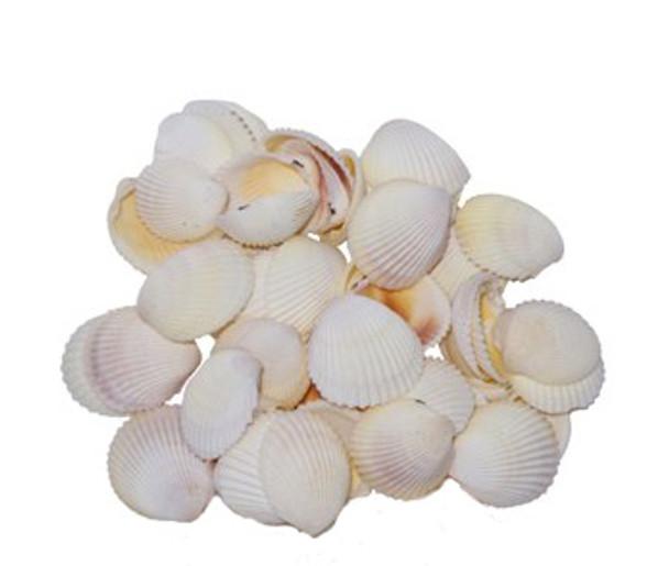 Philippine Cockle Seashells