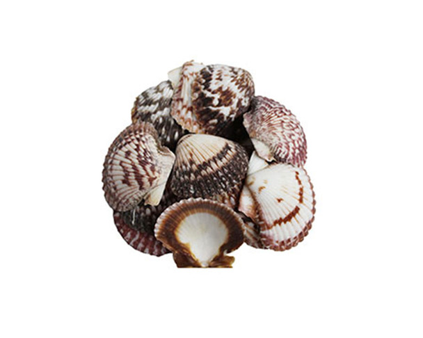Purple Pecten Seashells