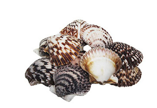 Brown Pecten Seashells