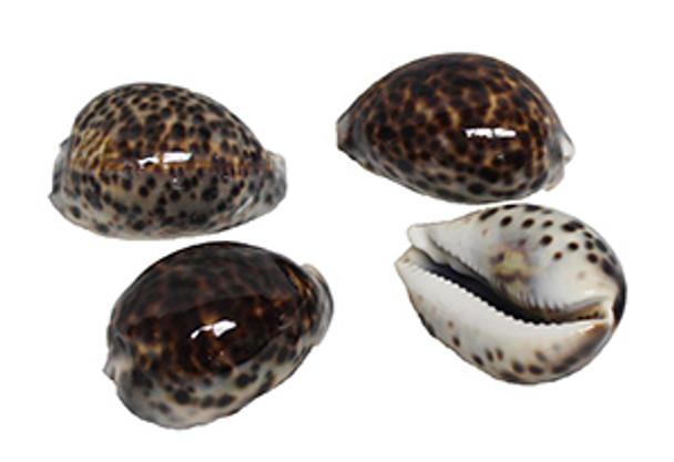 Tiger Cowrie Seashells