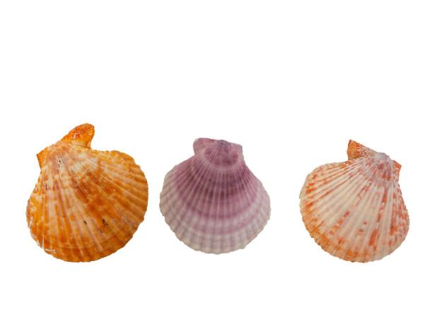 Chlamy Sinatoria Pairs Seashells