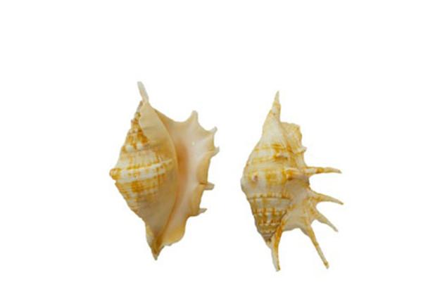 Lambis Lambis-Spider Shell
