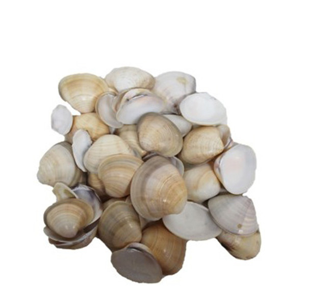 Brown/ Orange Clam Seashell