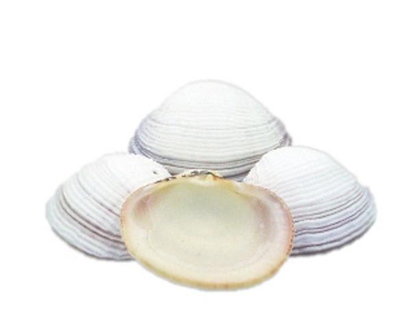 White Fimbriata Seashells