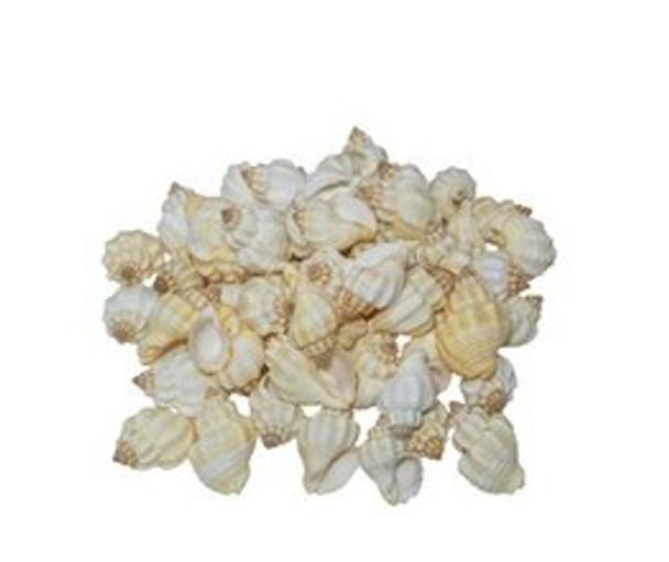 Cancellaria Undulata White