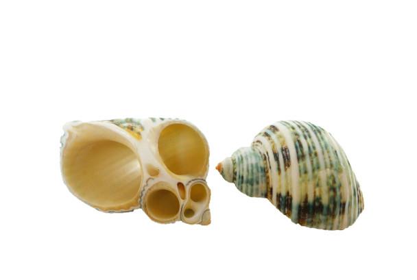 Polished Silvermouth Turbo Seashell Napkin Rings