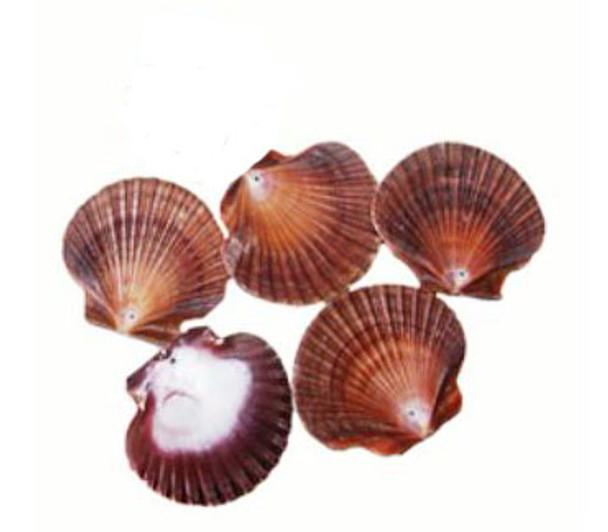Drilled Mexican Flat Seashells