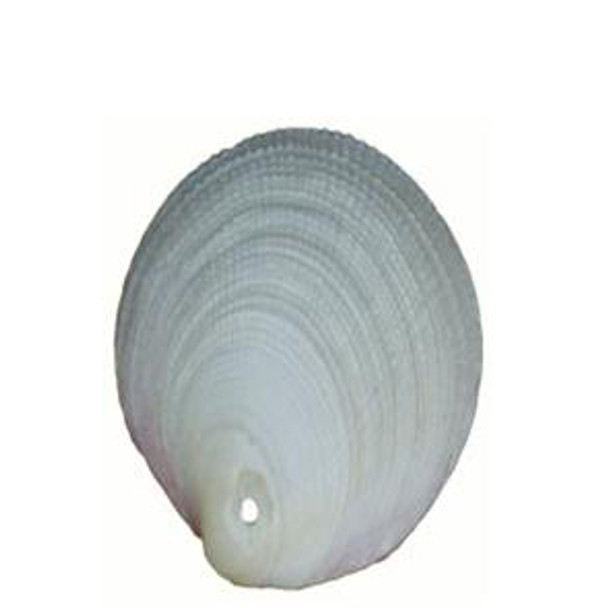 Drilled Codakia Tigrina Seashells