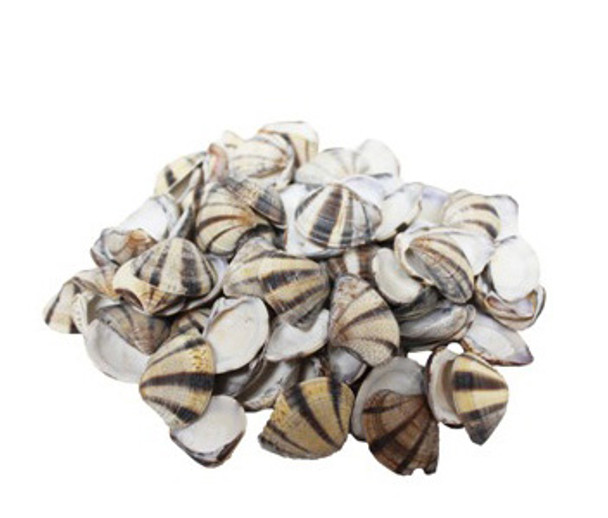 3 Striped Clam Seashells