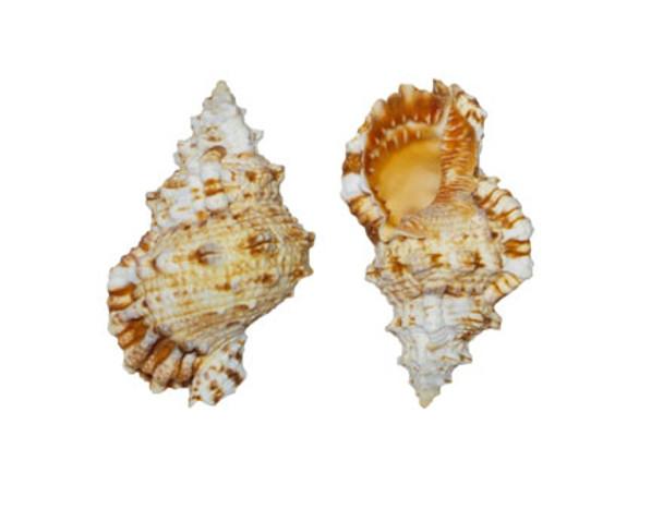 Bursa Rubita Seashells