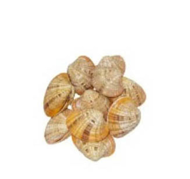 Callista Erycina Seashells