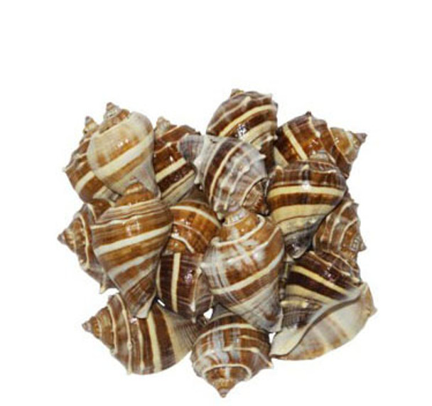 Crown Conch Seashells Lacq