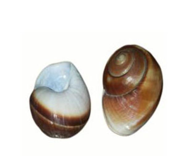 Drilled Giant Land Snail Seashells