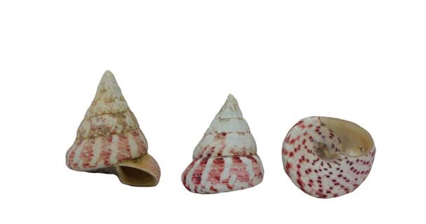 Drilled Strawberry Seashells