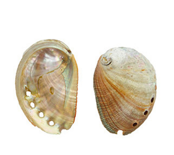 Small Red Abalone Seashells
