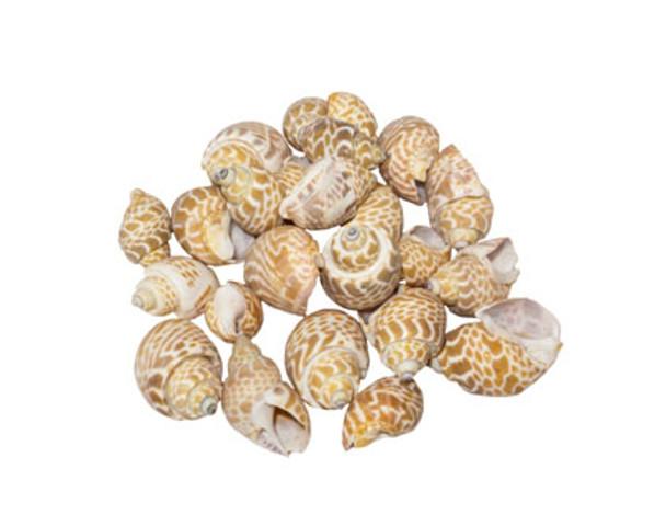 Babylonia Spirata Seashell