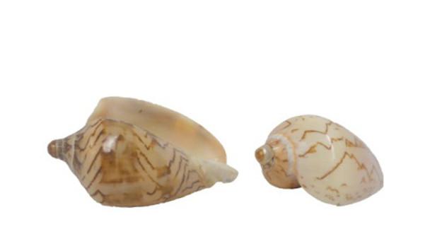 Polished Voluta Nobilis Seashell
