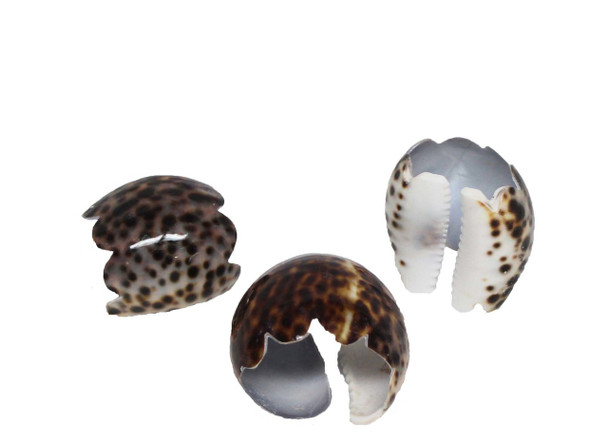 Large Tiger Cowrie Seashell Napkin Ring - Scallop edge
