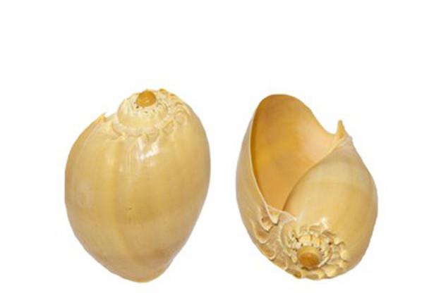 Melo Diadema Seashell