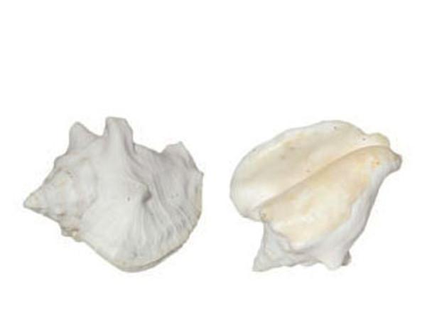 Milk Conch Seashell