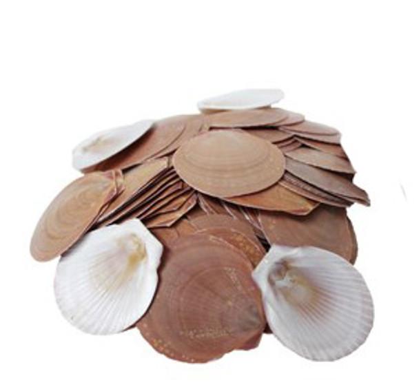 Moon Seashell
