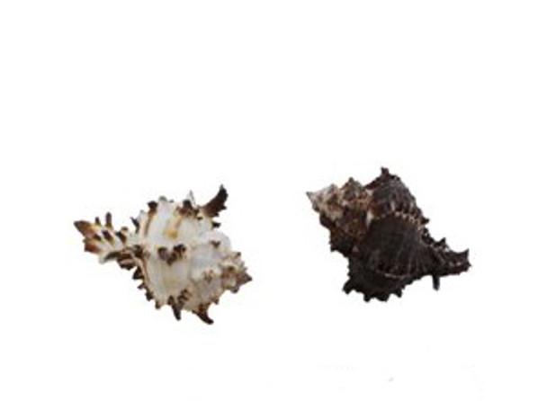 Murex Endiva Seashell
