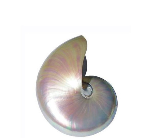 Pearlized Nautilus Seashell