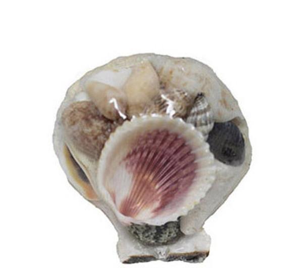 Pecten Shell Pack