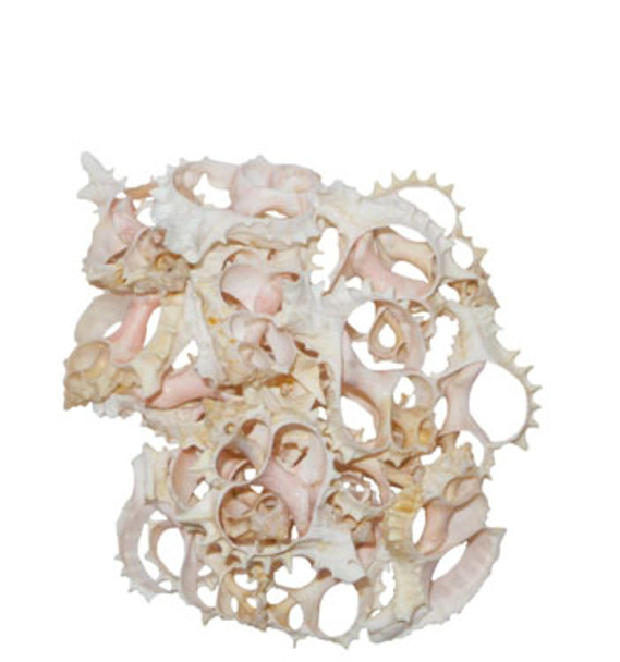 Pink Murex Seashell Slice