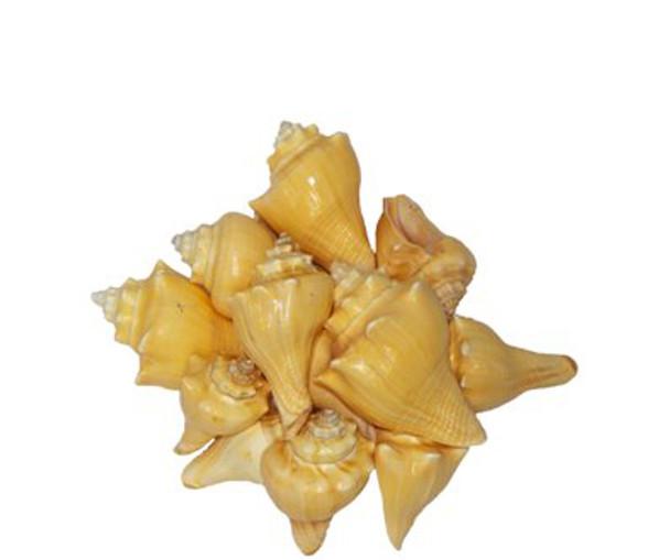 Vole Seashells