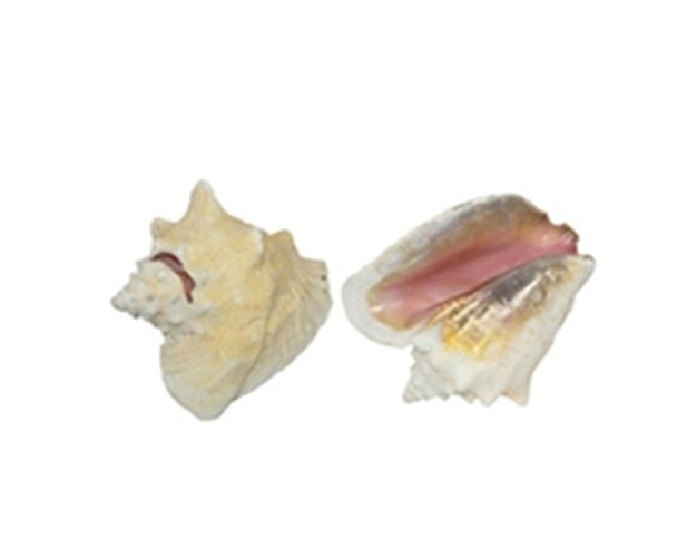 Pink Conch  Edged With Slit