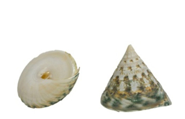 Polished Green Trochus Seashells