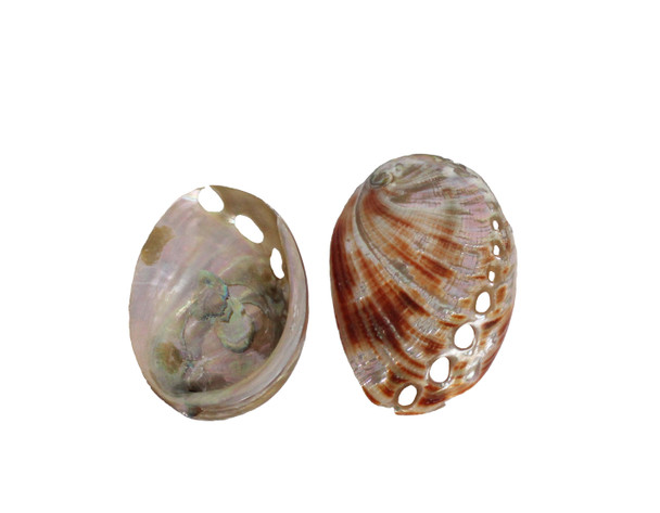 Polished Red Abalone - Philippines