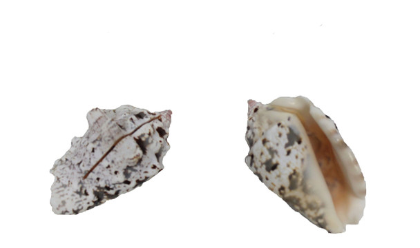 Silverlip Strombus  Seashell Cardholder