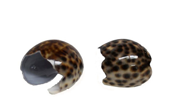 Small Tiger Cowrie Napkin Ring