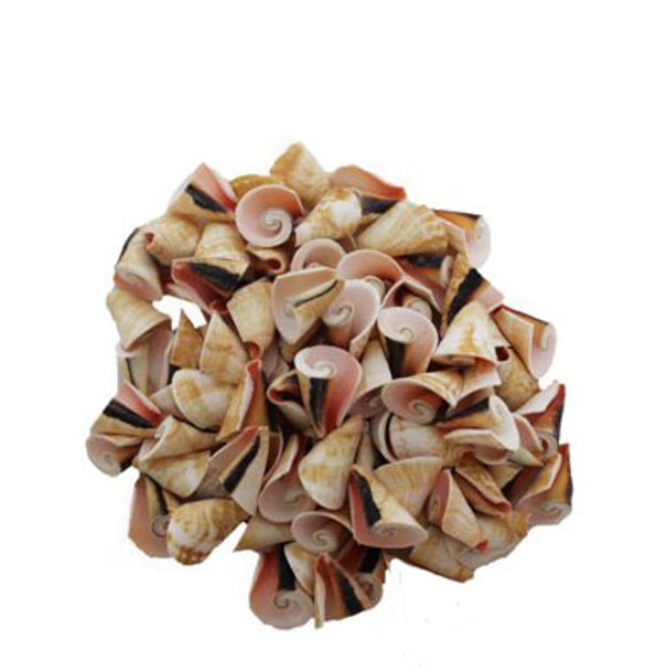 Strawberry Strombus  Seashells - Cone Cut