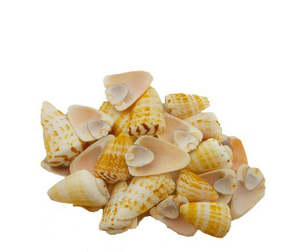Strawberry Strombus Seashell Side Cut
