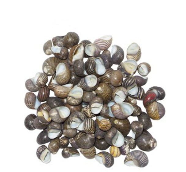 Zig Zag Nerite Seashells