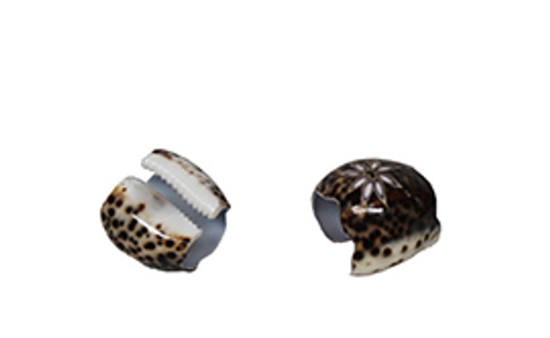 Tiger Cowrie Napkin Ring Seashells- Flower with Scallop Edge