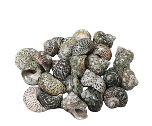 Turbo Stripe Seashells