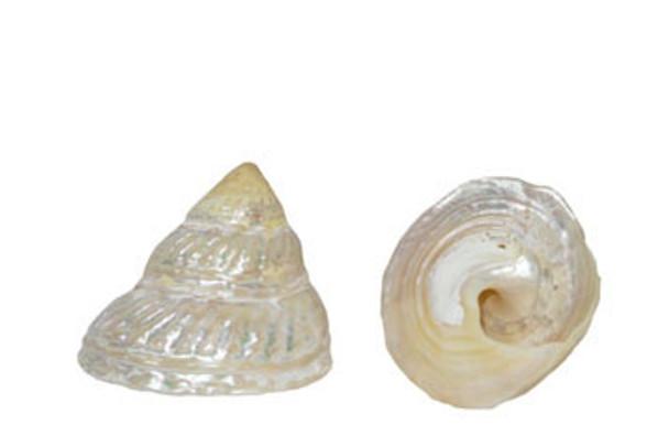 Pearlized Wavy Top Seashell