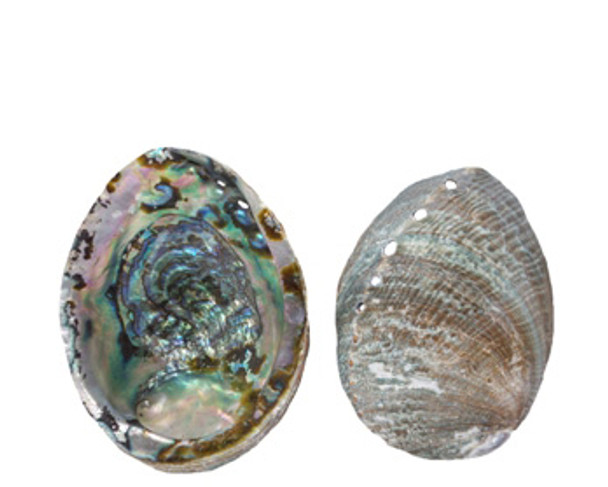 Blue Abalone Seashell Lacquered