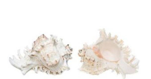 Murex Ramosus Seashell