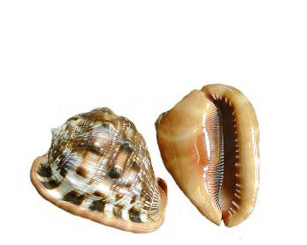 Cameo Seashells
