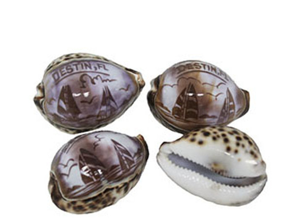 Carved Tiger Cowrie