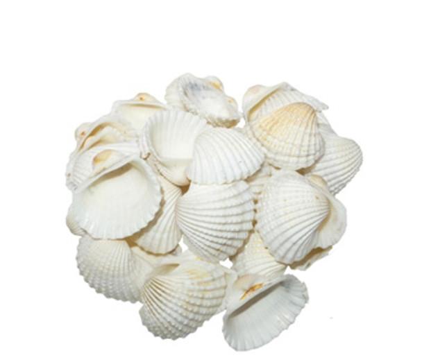 White Ark Seashells