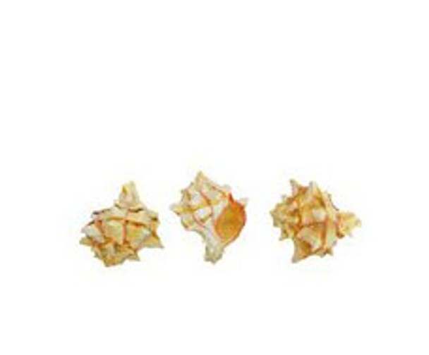 Brassica Murex Seashell Lacquered