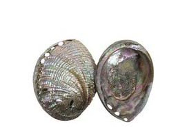Polished Blue Abalone Seashells