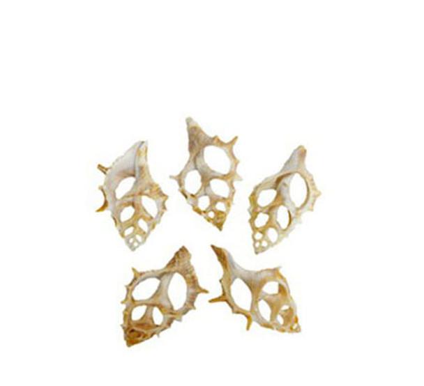 Bursa Spinosa Slice Seashells