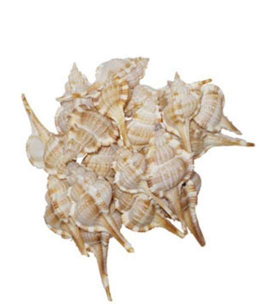 Murex Seratospinosus Seashells